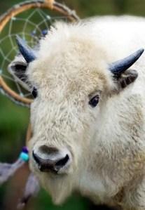 Weißes Büffelkalb