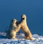 Eisbären in der Erprobung der Kräfte
